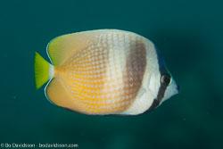 BD-110315-Puerto-Galera-3623-Chaetodon-kleinii.-Bloch.-1790-[Sunburst-butterflyfish].jpg